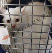 成都至武汉的猫咪航空托运